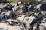 Marine iguanas sit on a rocky beach in the Galapagos Islands, Ecuador.