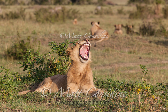 Marsh pride adolescent lion yawning while other cubs watch the hunt in the late afternoon sun, Masai Mara Reserve, Kenya, Africa (photo by Wildlife Photographer Matt Considine)