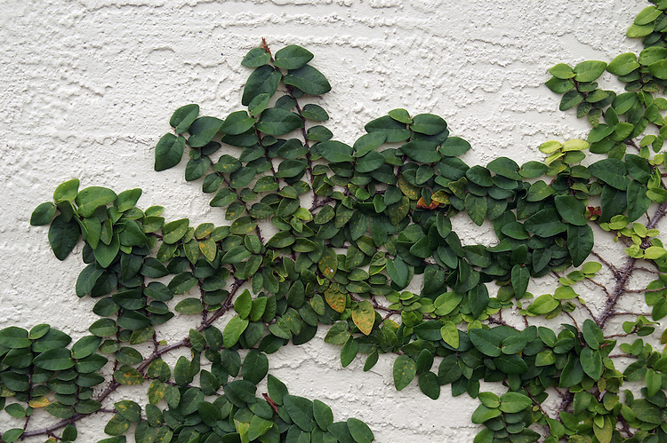 The naturals patterns created by the growth of the vine up the wall can be modeled mathmatically using fractals.
