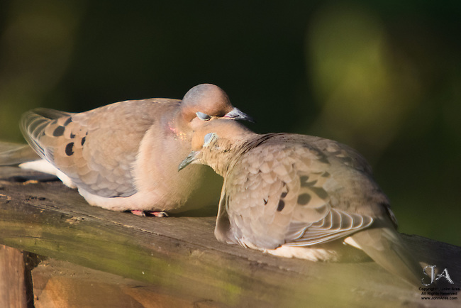 Amorous Morning Doves cuddling.  Love with eyes closed.