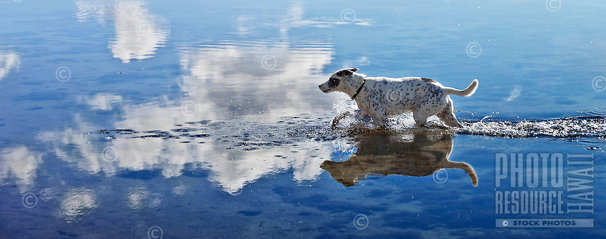 Zelda, a rescue dog, running in the ocean, with clouds reflected in the crystal blue water,at Maunalua Bay, Oahu, Hawaii.