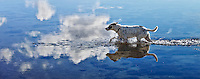 Zelda, a rescue dog, running in the ocean, with clouds reflected in the crystal blue water, at Maunalua Bay, Oahu, Hawaii.