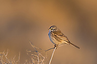 578830015 a wild sage sparrow amphispiza belli nevadensis perches on a sagebrush branch in kern county california