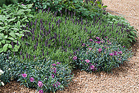 Dianthus clove pinks, Lavandula spanish lavender herb, Salvia officinalis culinary sage, roses Rosa in fragrance herb flower garden growing in gravel, flowers and herbs together