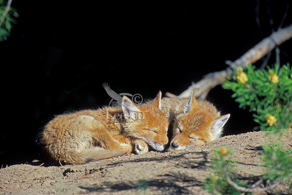 Two wild Coyote pups sleep on their den mound.  Western U.S., June.
