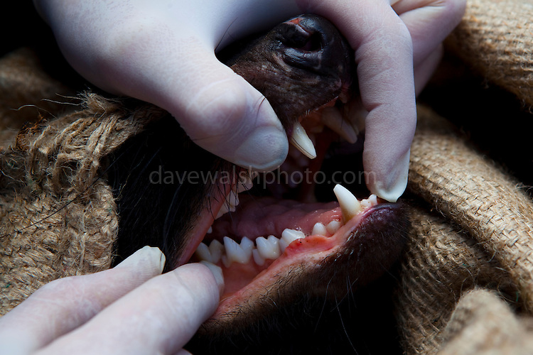 Biologist Drew Lee from the Save The Tassie Devil program checks the mouth of a wild Tasmanian Devil for signs of Devil Facial Tumour Disease - it turns out to be free of the disease, it is released back into the wild.  DFTD is contagious cancer that scientists are only beginning to understand, but has spread rapidly through the population, leaving the devil listed as endangered. In December 2009, it was announced that the disease may be related a peripheral nerve cell, called the Schwann cell, which has led some hopes for preserving the devil, at least in terms of quarantine insurance populations.  The scientists are trapping and monitoring the animals here on the Tasman Peninsula as part of a programme to control the further spread of the disease and to create insurance populations.