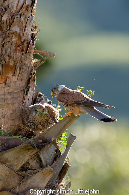 Adult male and female Kestrels in nest with female eating part of Preying Mantis