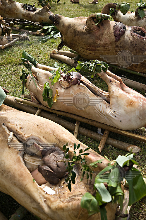 300 slaughtered pigs were presented by the nobles of the Ha'a Ngata tribe for the coronation of King George Tupou V.