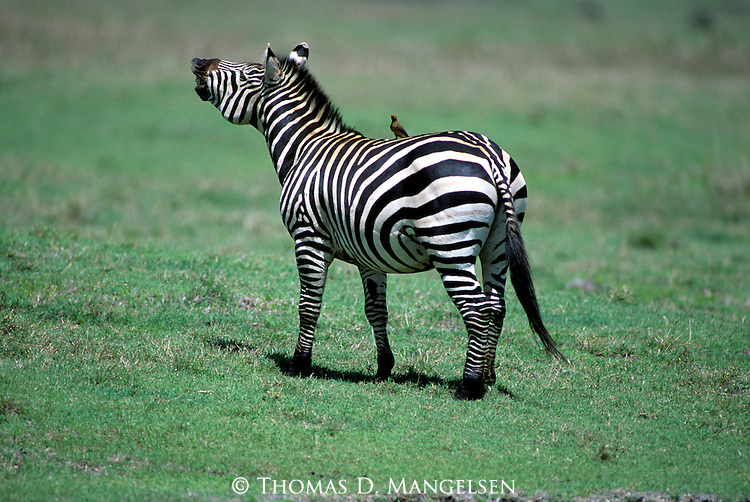 A Burchells zebra stands while a bird perches on its back in Kenya.