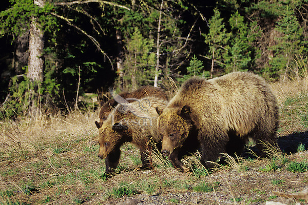 Grizzly Bears--sow with cubs--walking through forest meadow.  Western U.S., May.
