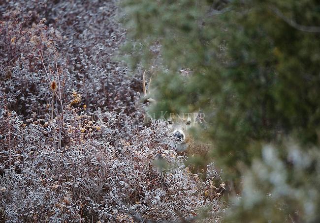 Whitetail buck peeking between brush and trees in Montana
