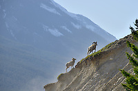 A pair of Bighorn Sheep climb a steep ridge in the Canadian Rockies
