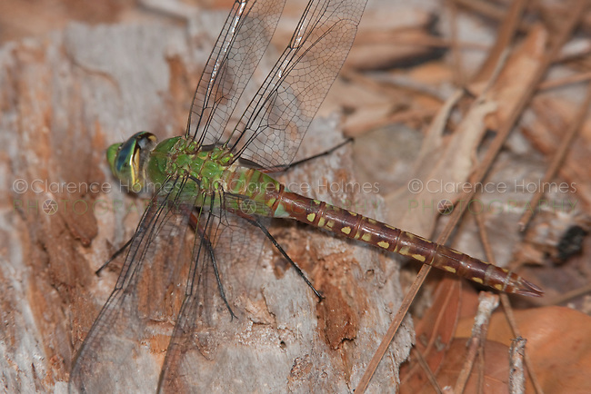 Comet Darner (Anax longipes) Dragonfly - Teneral Female, Lake Kissimmee State Park, Lake Wales, Polk County, Florida