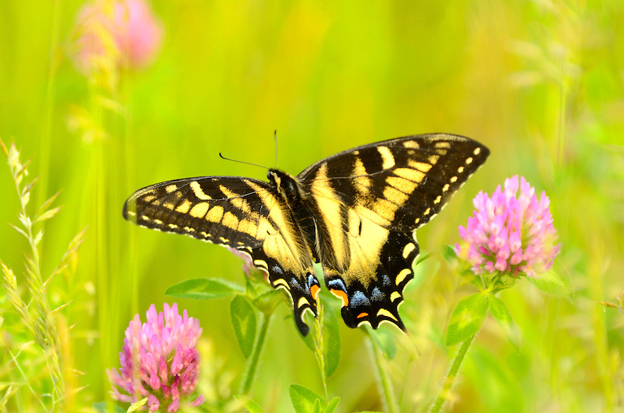 A beautiful and common Eastern Tiger Swallowtail butterfly sips mid-summer nectar from red clover.
