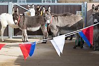 BNPS.co.uk (01202) 558833. <br /> Pic: CorinMesser/BNPS<br /> <br /> Staff at the 'finishing school' introduce their class to bunting. <br /> <br /> A donkey sanctuary is running its own 'finishing school' to help the animals adjust to the outside world once they are re-homed.<br /> <br /> The 12 week program, initiated by The Donkey Sanctuary in Sidmouth, Devon, is believed to be the first of its kind in Britain.<br /> <br /> Activities include walking under bunting, navigating traffic cones and getting used to people carrying umbrellas.<br /> <br /> There are also tutorials on feeding, grooming and handling for the donkeys' prospective guardians.<br /> <br /> The initiative started in November 2019, with a current intake of 31 donkeys. Eight donkeys having already gone to homes.