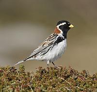 Lapland Bunting - Calcarius lapponicus - male