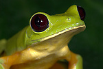 Gliding Tree Frog, Agalychnis spurrelli, portrait, sitting on leaf, showing webbed feet, Guayacan, Provincia de Limon, Costa Rica, Amphibian Research Center, adhesive disks on the tips of the fingers and toes that aid in climbing, tropical jungle, South America, Endangered, Threatened.Central America....