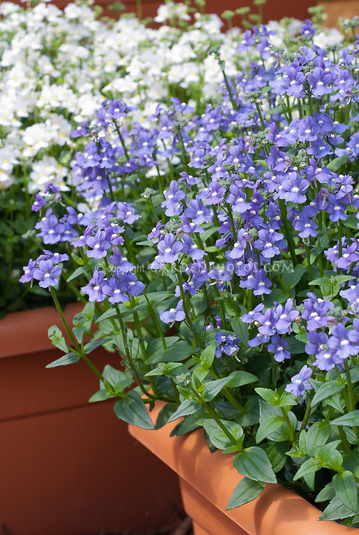 Nemesia Aromatica True Blue in pot container