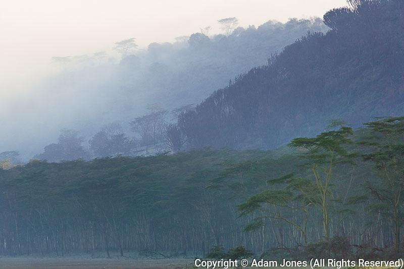 Yellow fever tree forest and mist, Acacia xanthophloea, Lake Nakuru National Park, Kenya, Africa