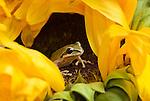 Pacific treefrog (Pacific chorus frog), Hyla regilla (Pseudacris regilla), on sunflower, Helianthus sp.