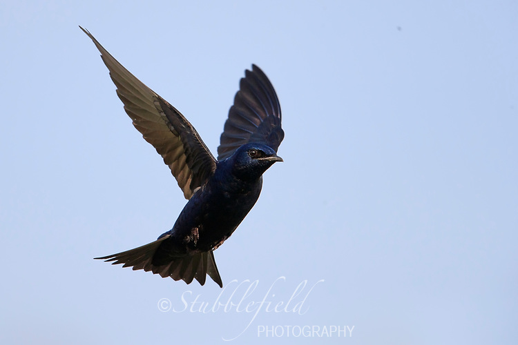 Purple Martin (Progne subis subis), Northern subspecies, male in flight at Cape May Point State Park in Cape May, New Jersey.