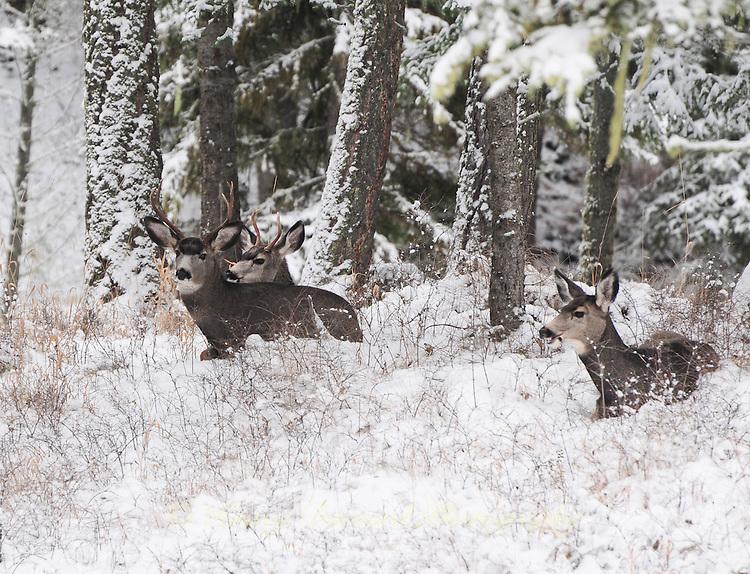 Three Montana mule deer bucks resting in the snow
