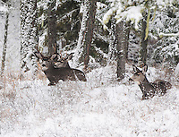 Three Montana mule deer bucks resting in the snow