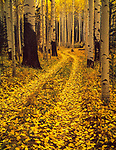 Autumn road,Aspen Forest,Coconino NF,San Francisco Peaks,Arizona