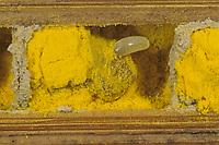 Rote Mauerbiene, Brutröhre, Ei, Niströhre im Querschnitt, Entwicklung, Entwicklungsreihe Entwicklungsstadien, Brutkammer mit Pollen gefüllt, Rostrote Mauerbiene, Mauerbiene, Mauer-Biene, Osmia bicornis, Osmia rufa, red mason bee, mason bee, L'osmie rousse, Mauerbienen, mason bees