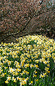 Daffodil (Narcissus 'Wisley') beneath witch hazel (Hamamelis japonica 'Superba'), mid March.