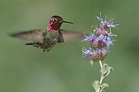 Anna's Hummingbird - Calypte anna - Adult male