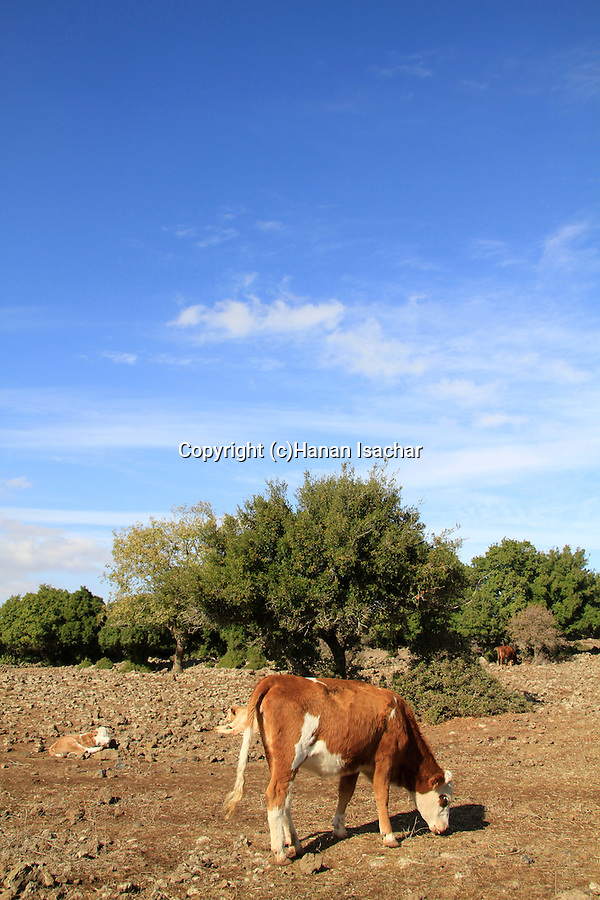 Golan Heights, a cow in Odem forest