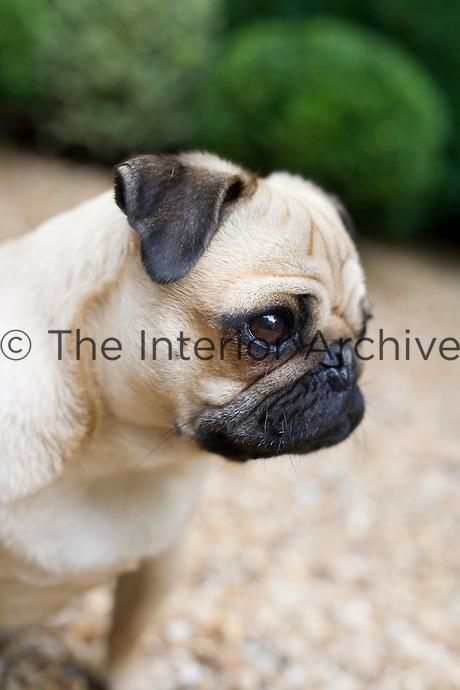Portrait of a pensive pug
