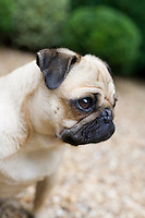 Portrait of a pensive pug