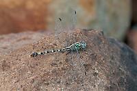 385360013 a wild male serpent ringtail erpetogomphus lampropeltis natrix perches on a rock along bear creek in cochise county arizona