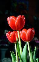 Flor Tulipa ( Tulipa hybrida). SP. Foto de Juca Martins.