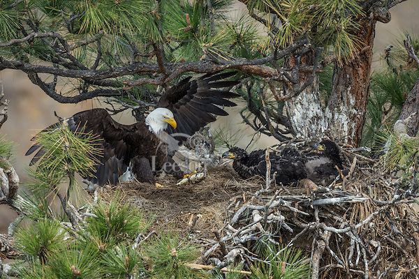 Bald Eagle Nest (Haliaeetus leucocephalus)--adult bringing small trout (fish) into nest with two 5 to 6 week old eaglets in tall ponderosa pine tree.  Oregon.  May.