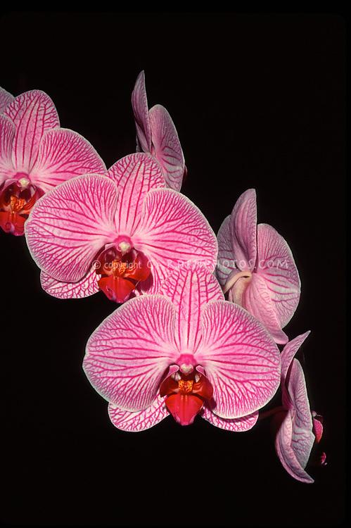 Doritaenopsis Hawaiian Legend 'Maria Theresa', HCC/AOS. orchid hybrid of Brazilian Connection x Hawaiian Glow. Striped Phalaenopsis moth orchid with red lip