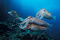 A trio of male Pharaoh cuttlefish, Sepia pharaonis, compete for the attentions of a female.  The dominant male stays close to prevent a rival male from mating with her. Mergui Archipelago, Burma, Andaman Sea, Indian Ocean