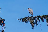 Grey Heron, Ardea cinerea, adult, Switzerland, Europe