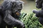 Foto: VidiPhoto<br /> <br /> ARNHEM &ndash; Om de naderende winter gezond en fit door te komen, kregen de vijftien chimpansees van Burgers&rsquo; Zoo in Arnhem donderdag een bijzondere vitamineboost: boerenkool (met piepers) van Hollandse bodem. De dieren waren donderdag voor de laatste keer buiten dit jaar. De boerenkool, afkomstig van veiling ZON in Venlo, heeft de eerste nachtvorsten over zich heen gehad en zijn daardoor een exclusieve lekkernij voor de mensapen. Bovendien gaat het hier om A-kwaliteit. Volgens de dierentuin dezelfde groente als die uit de betere groentewinkels. Boerenkool staat volgens het Voedingscentrum met een gezondheidswaarde van 8,6 bovenaan de top drie als winterkost, vol met vezels, ijzer en vitamine C. Hoewel ze dol zijn op boerenkool, krijgen de dieren deze stevig kost slechts zelden en dan alleen nog maar in de winterperiode. Vanaf vrijdag zijn de chimpansees alleen maar te zien in hun binnenverblijf.