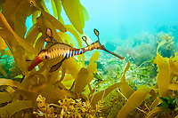 A Weedy or Common Sea Dragon (Phyllopteryx taeniolatus) swims among the pilings of the Flinders Jetty in Flinders, Mornington Peninsula, Victoria, Australia.