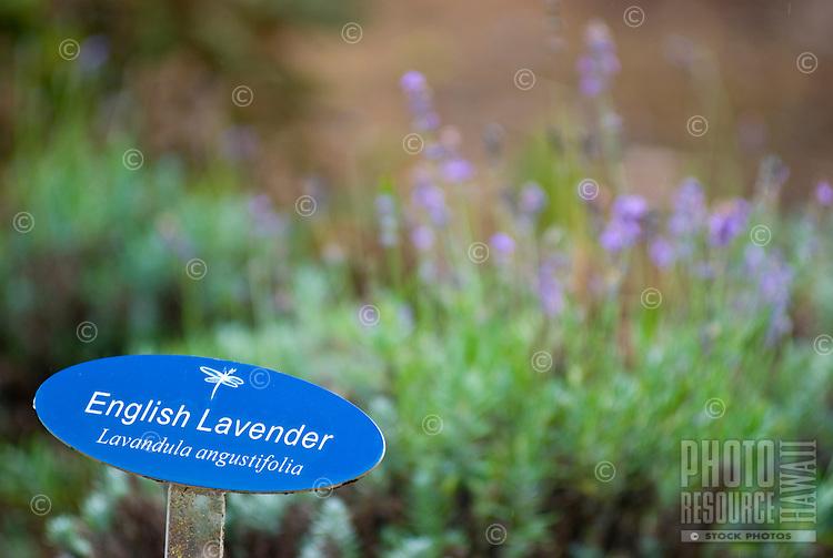 English Lavender signage posted at the Alii Kula Lavender farm at the base of Haleakala, Kula