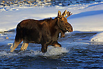 Young Bull Moose in River