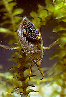 WS02-004b   Giant Waterbug male carrying eggs on back - Belostoma flumineum
