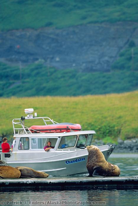 Steller's Sea lion, Kodiak Harbor, Alaska