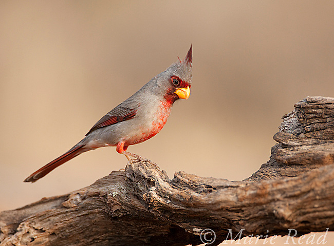 Pyrrhuloxia (Cardinalis sinuatus), male, Rancho Santa Clara, Rio Grande Valley, Texas, USA