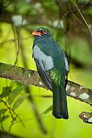 Slaty-tailed Trogon, Belize