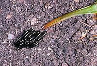 Grünes Heupferd, Eier, Weibchen mit langem Legebohrer, Großes Heupferd, Großes Grünes Heupferd, Grüne Laubheuschrecke, Tettigonia viridissima, Great Green Bush-Cricket, Green Bush-Cricket, eggs, female
