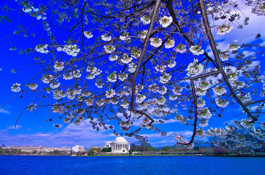 Cherry blossoms on the Cherry Tree Walk around the Tidal Basin, with the Jefferson Memorial in the background, Washington, District of Columbia, USA